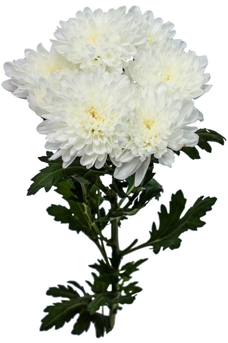 Хризантема сорт вайт букет, лет девушке